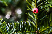 Red Berry of a Yew Tree (Taxus baccata)