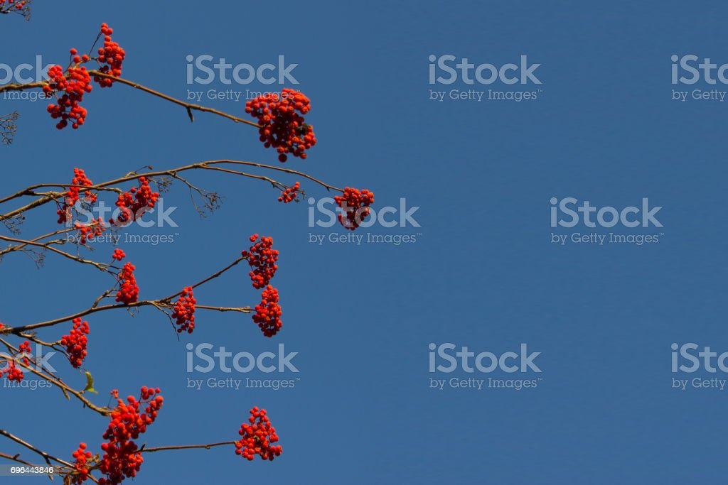red berry on the tree stock photo
