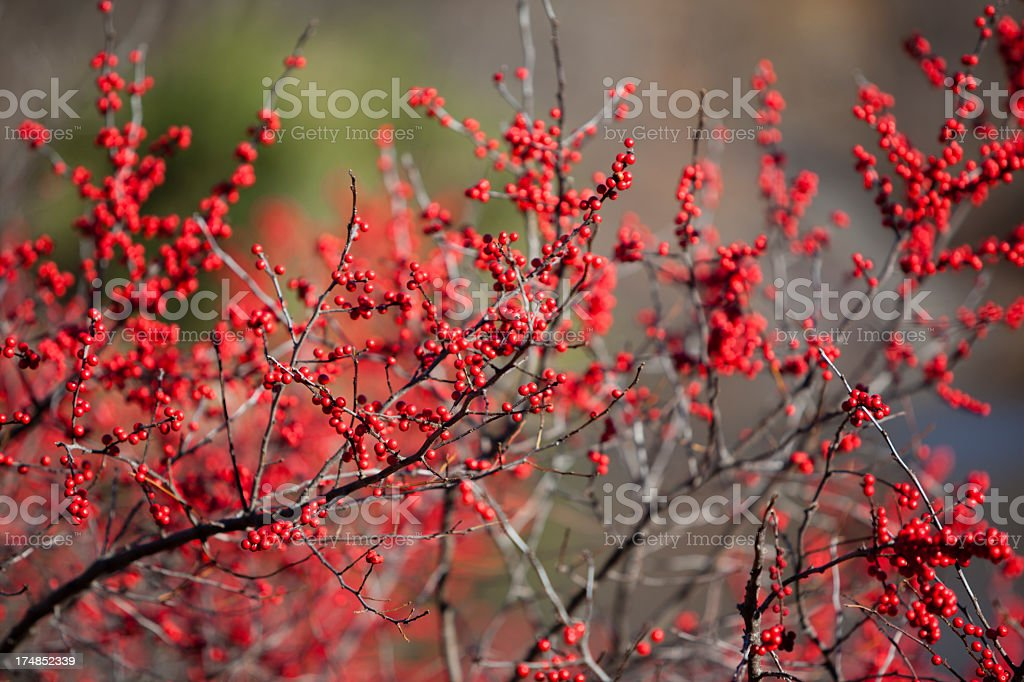 Red berry royalty-free stock photo