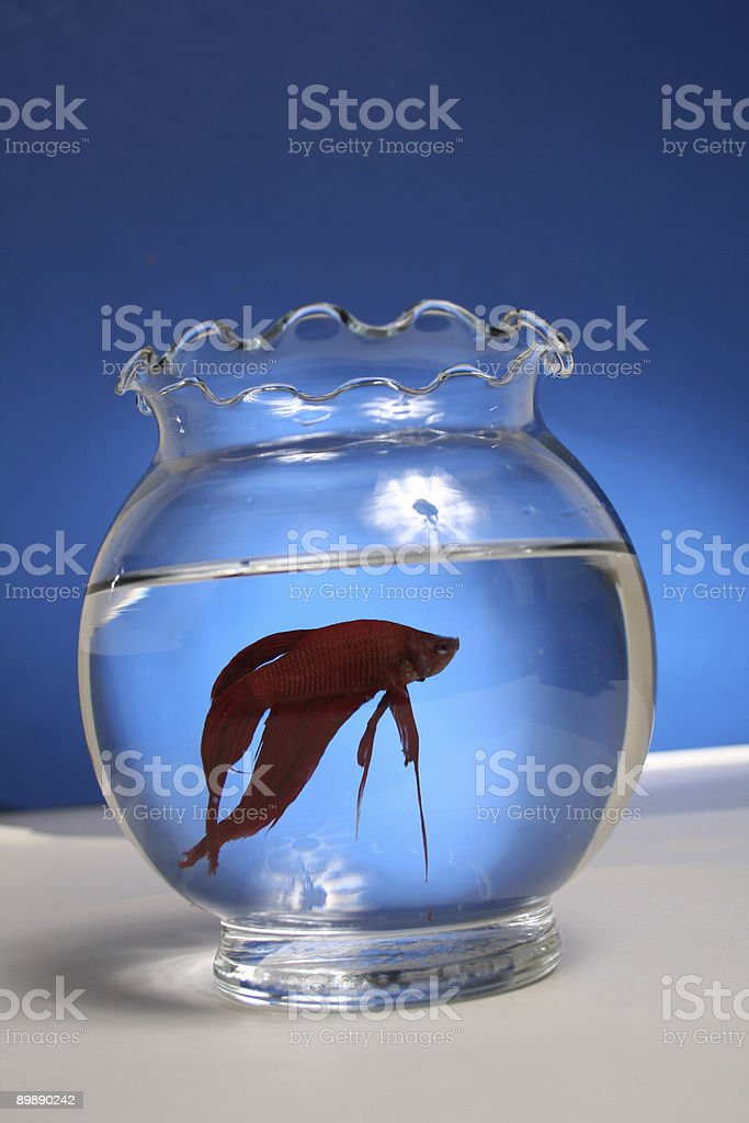 Red Betta Fish royalty-free stock photo
