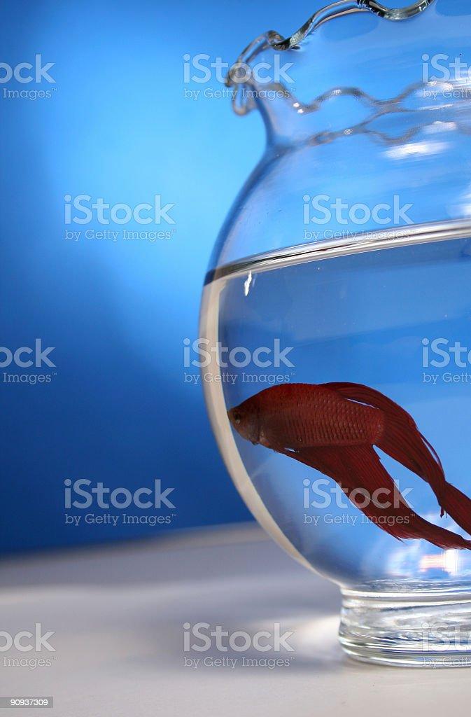 Red Betta Fish royalty-free stock photo