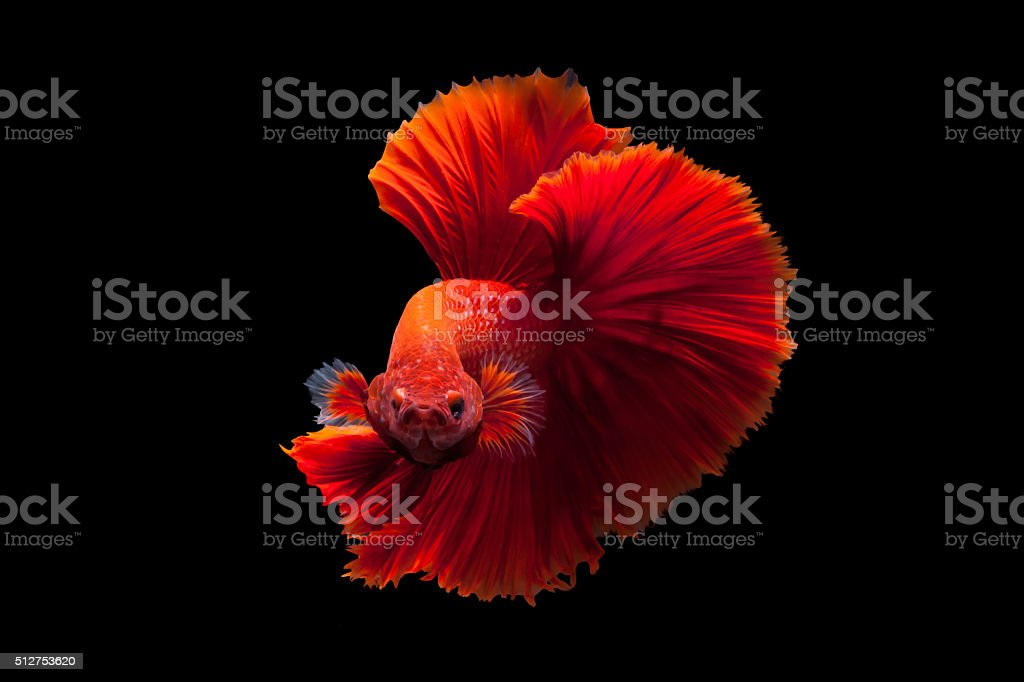Red betta stock photo