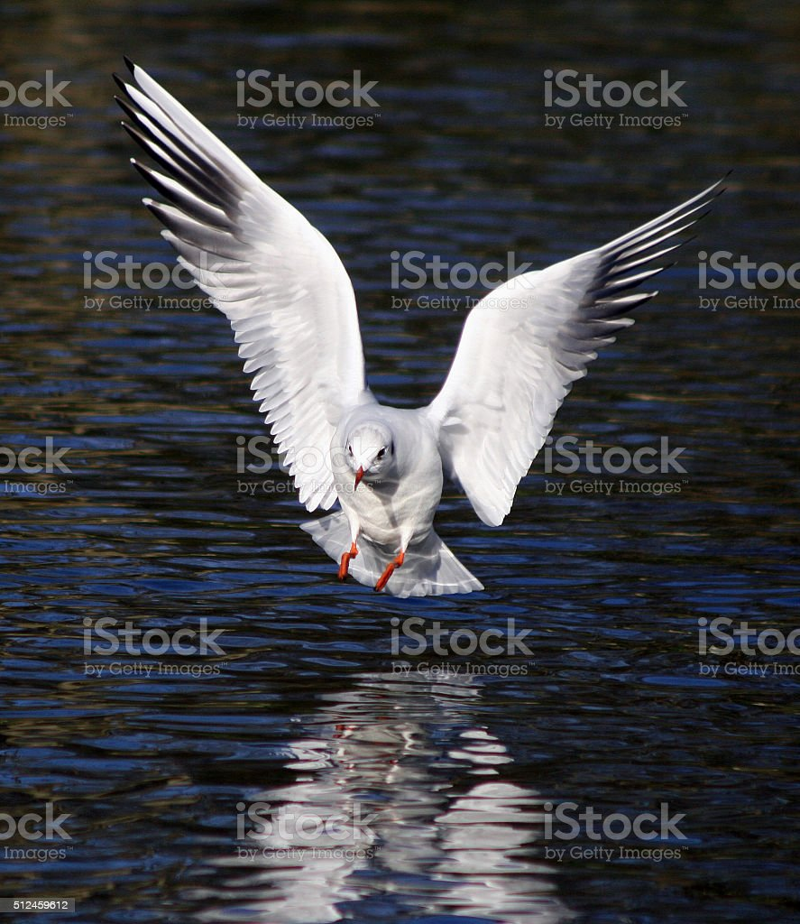 Red Billed Gull stock photo