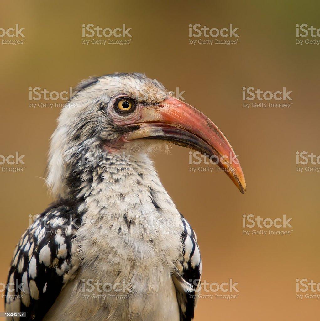 Red billed hornbill zbiór zdjęć royalty-free