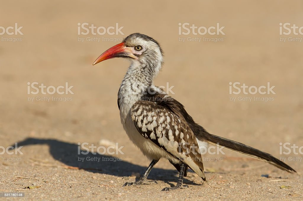 Red billed hornbill standing on ground looking and begging stock photo