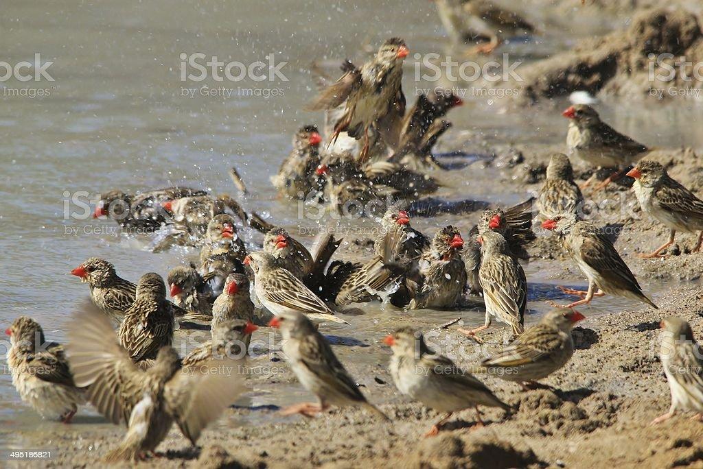 Red Billed Quelea Bath - Wild Bird Action stock photo