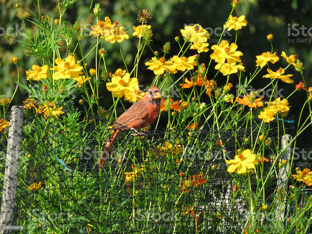 Red Bird and Summer Cosmos Flowers stock photo