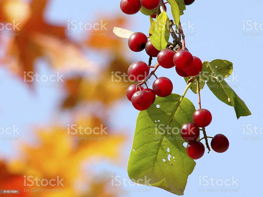 Red Bird Cherry royalty-free stock photo