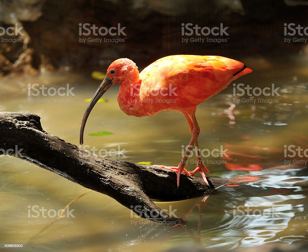 Red bird scarlet ibis stock photo