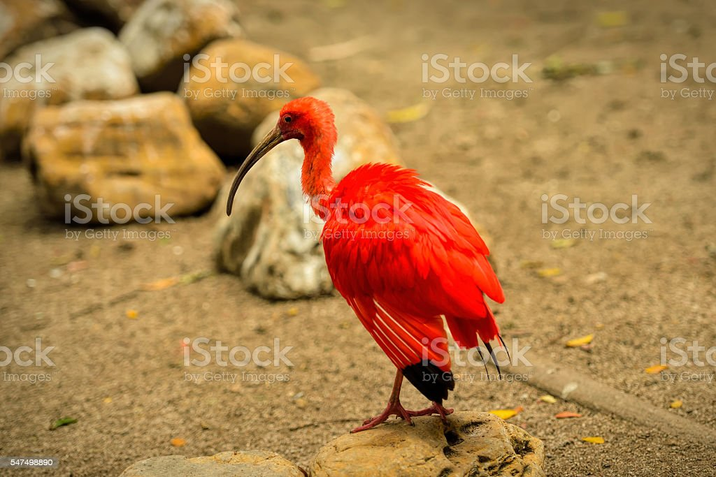 Red bird scarlet ibis stock photo