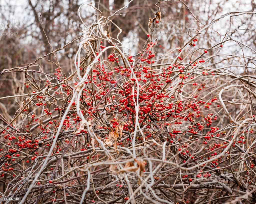 Red Bittersweet Berries in a Winter Forest stock photo