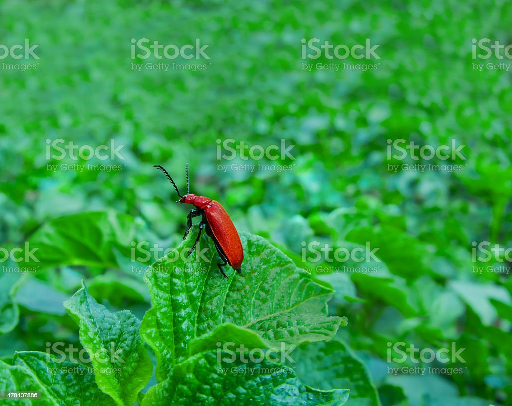 red black beetle royalty-free stock photo