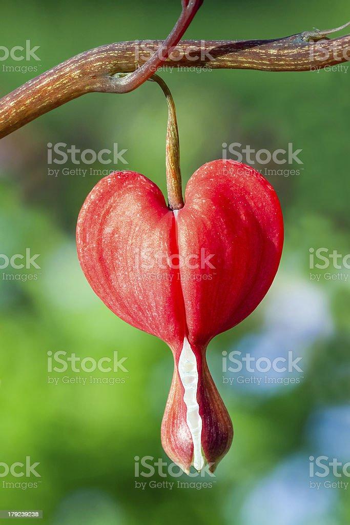 Sanguinamento rossa cuore fiore foto stock royalty-free