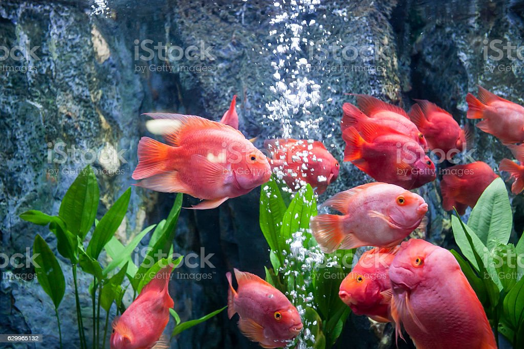 Red blood parrot fish stock photo