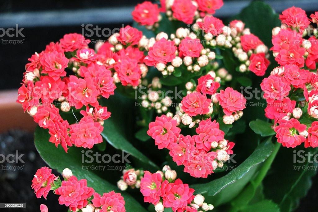 Red blooming Flaming Katy or Kalanchoe blossfeldiana stock photo