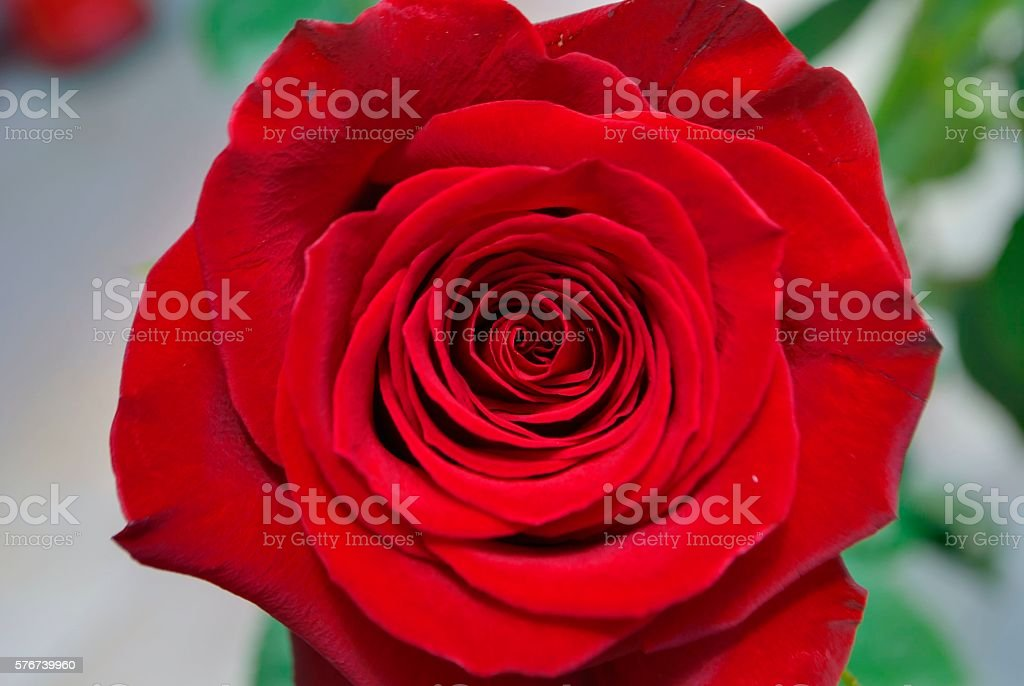 Red blooming rose stock photo