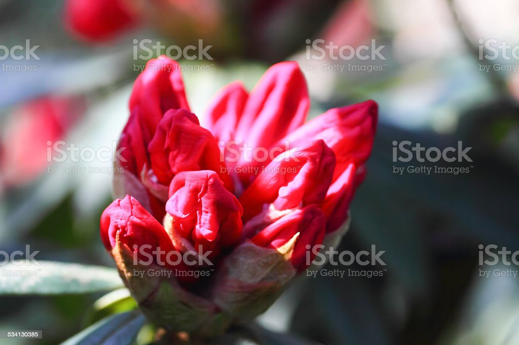 red blossom bud stock photo