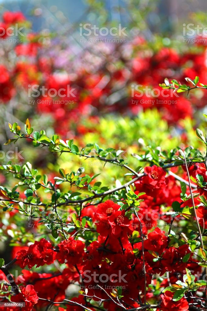 Red blossom of ornamental quince. stock photo