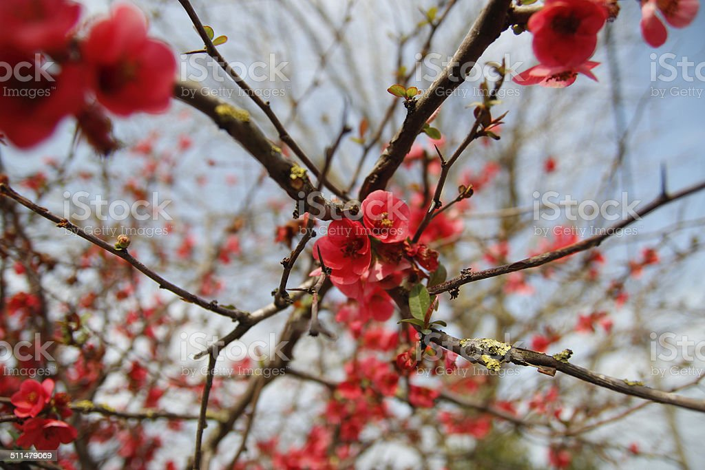 Red blossoming quince flowers stock photo