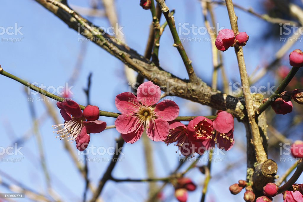 Red blossoms of Prunus mume or Japanese apricot stock photo