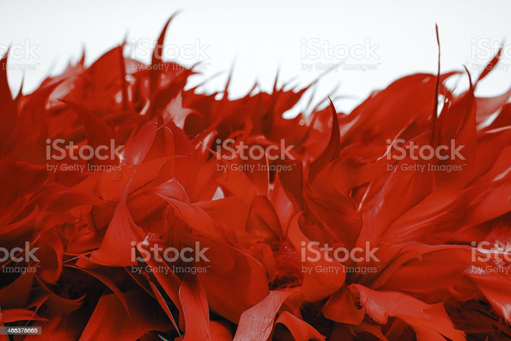 Red boa feathers of birds stock photo