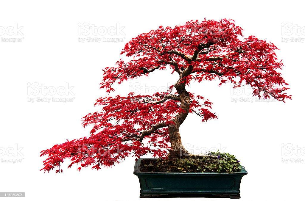 Red Bonsai Tree stock photo