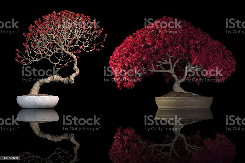 Red bonsai trees on black background royalty-free stock photo