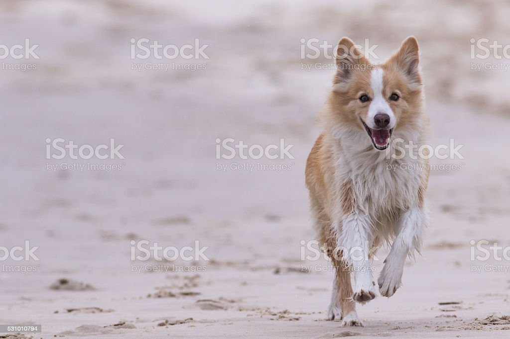 Red border collie running on a beach stock photo