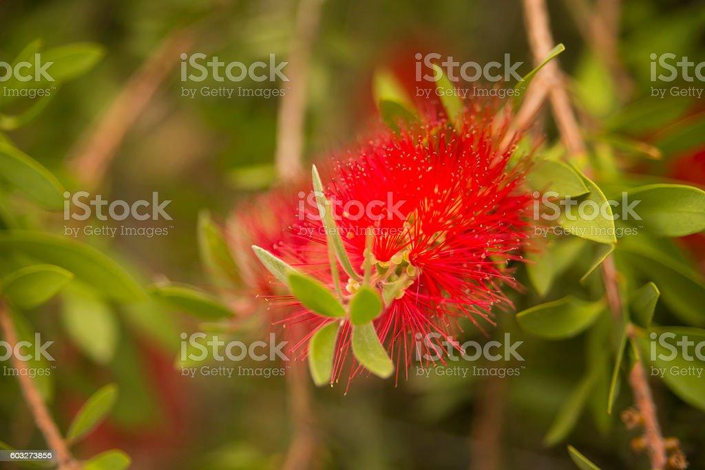 Red Bottle Brush Flower - Calistemon Citrinus stock photo