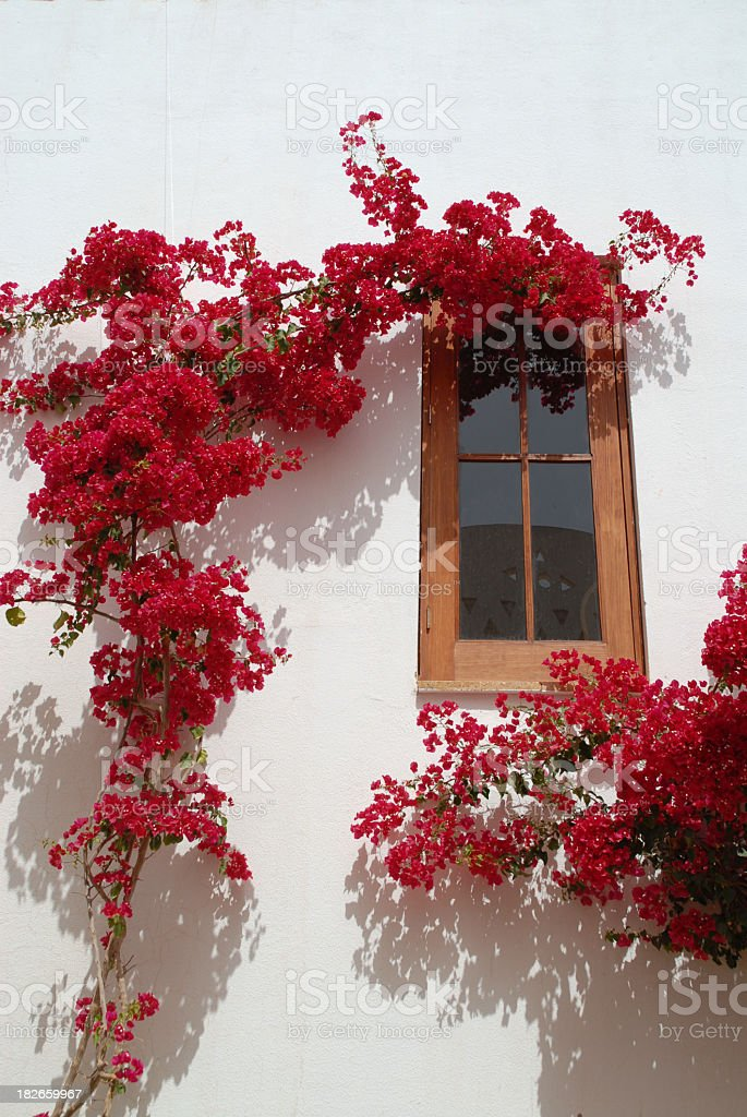 Red bougainvillea climbing against the white wall of a house. stock photo