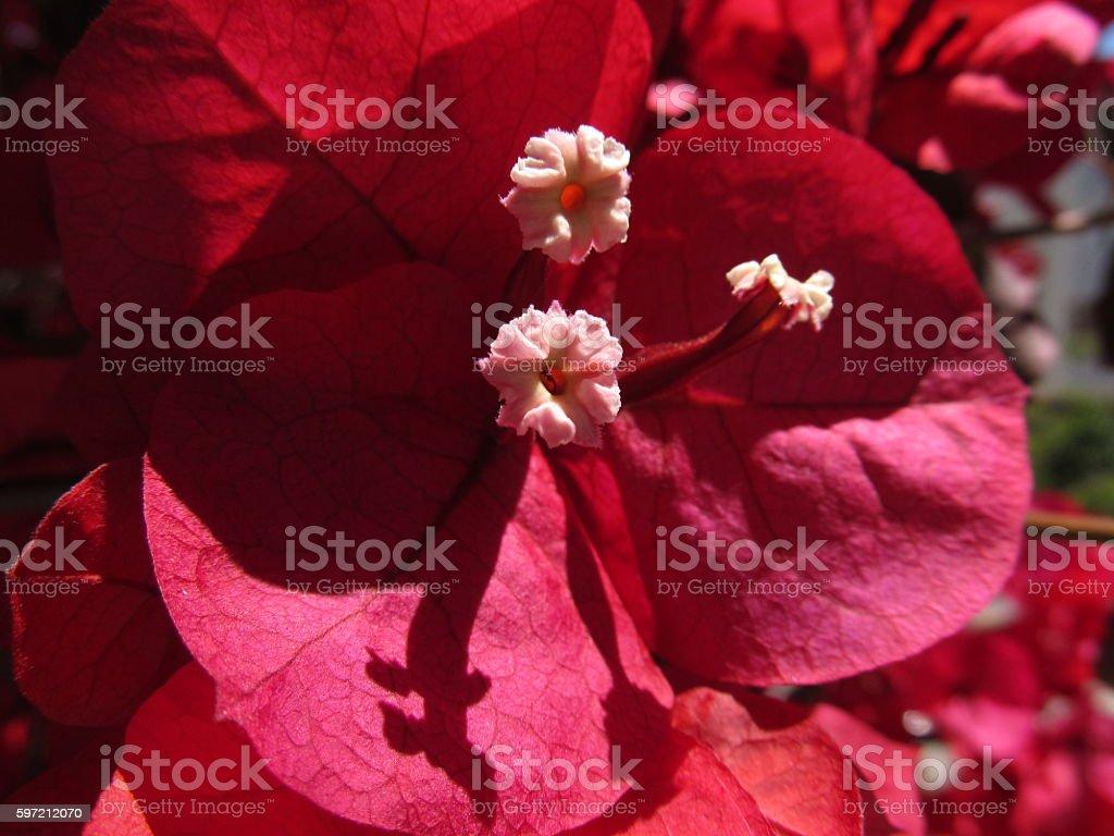 Red Bougainvillea Macro stock photo
