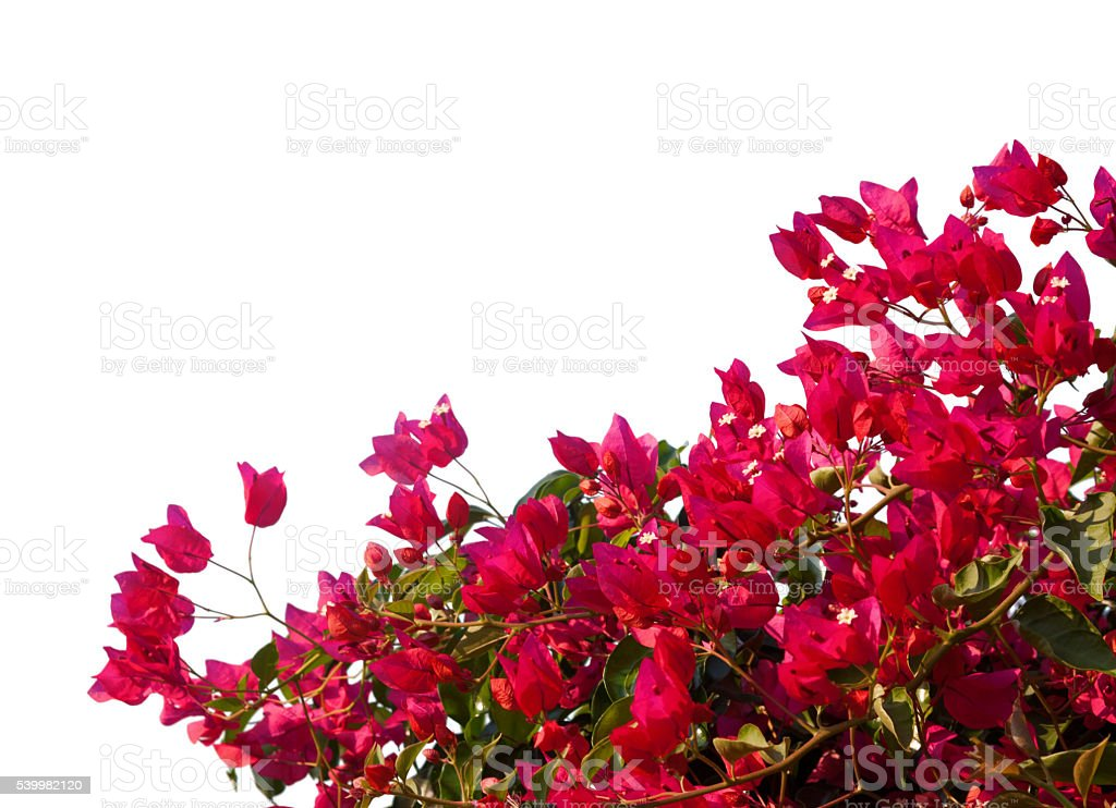Red  bougainvilleas isolated on white background. stock photo