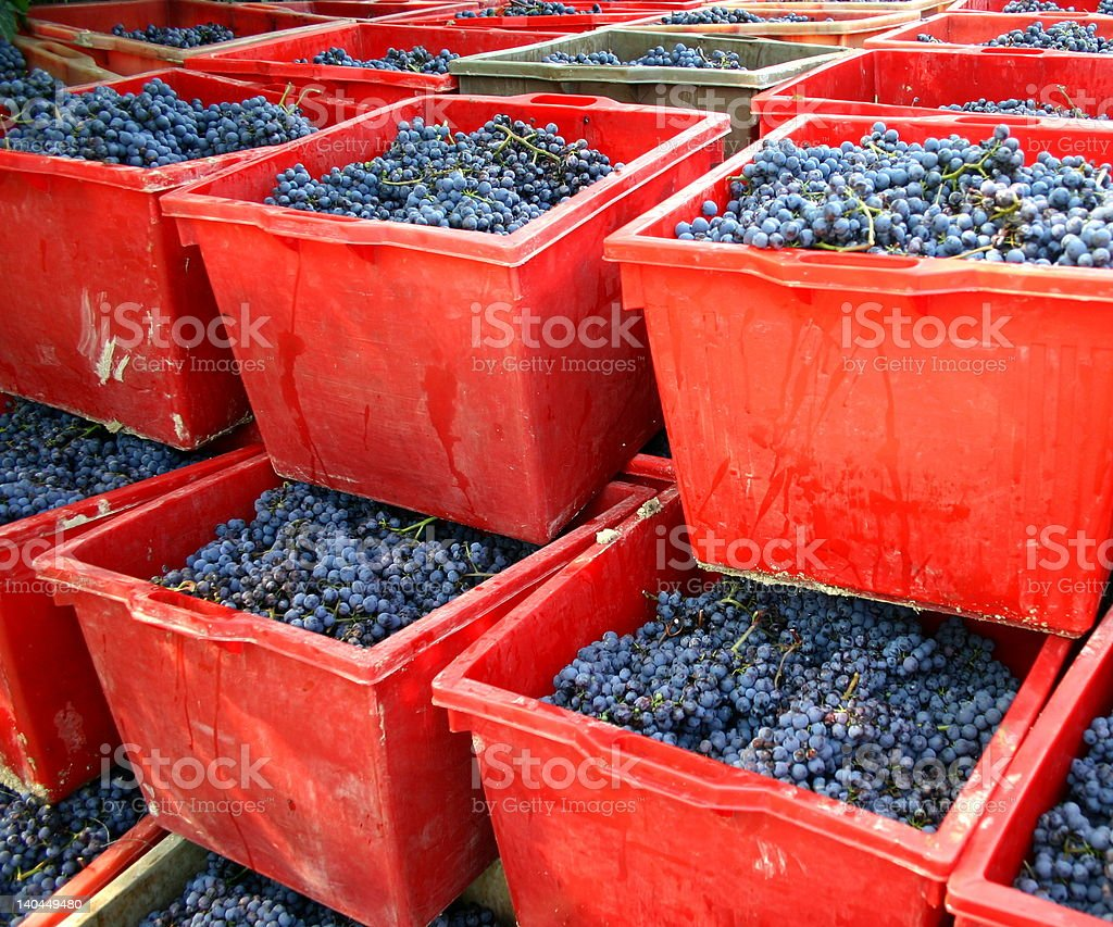 Red boxes filled with Italian grapes for making wine stock photo