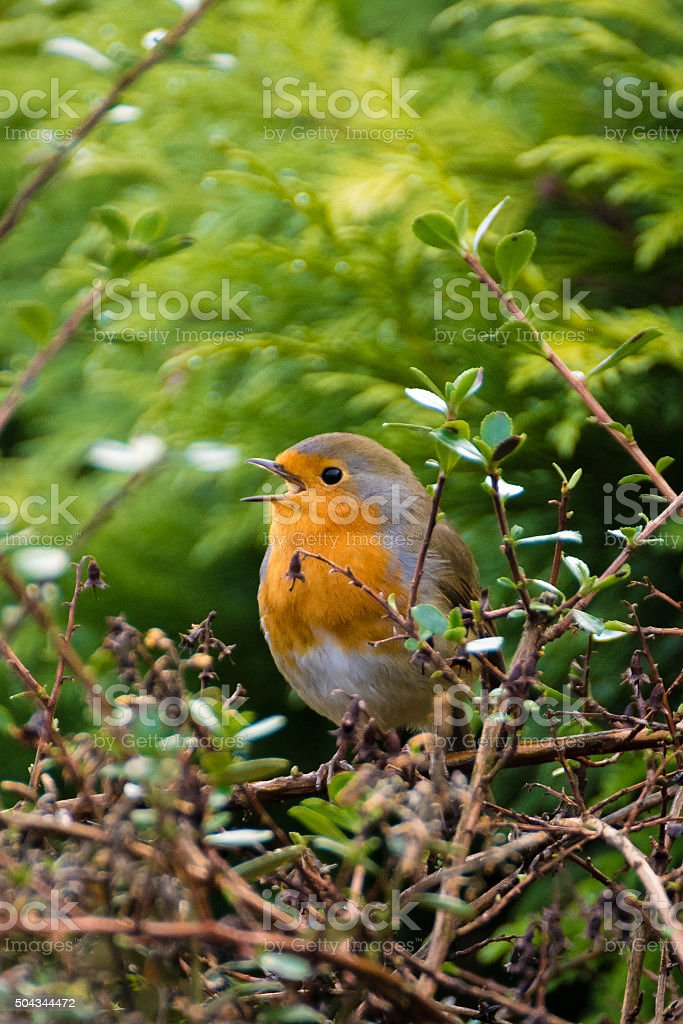 Red Breast Robin Singing Whilst Perched On Branches. stock photo