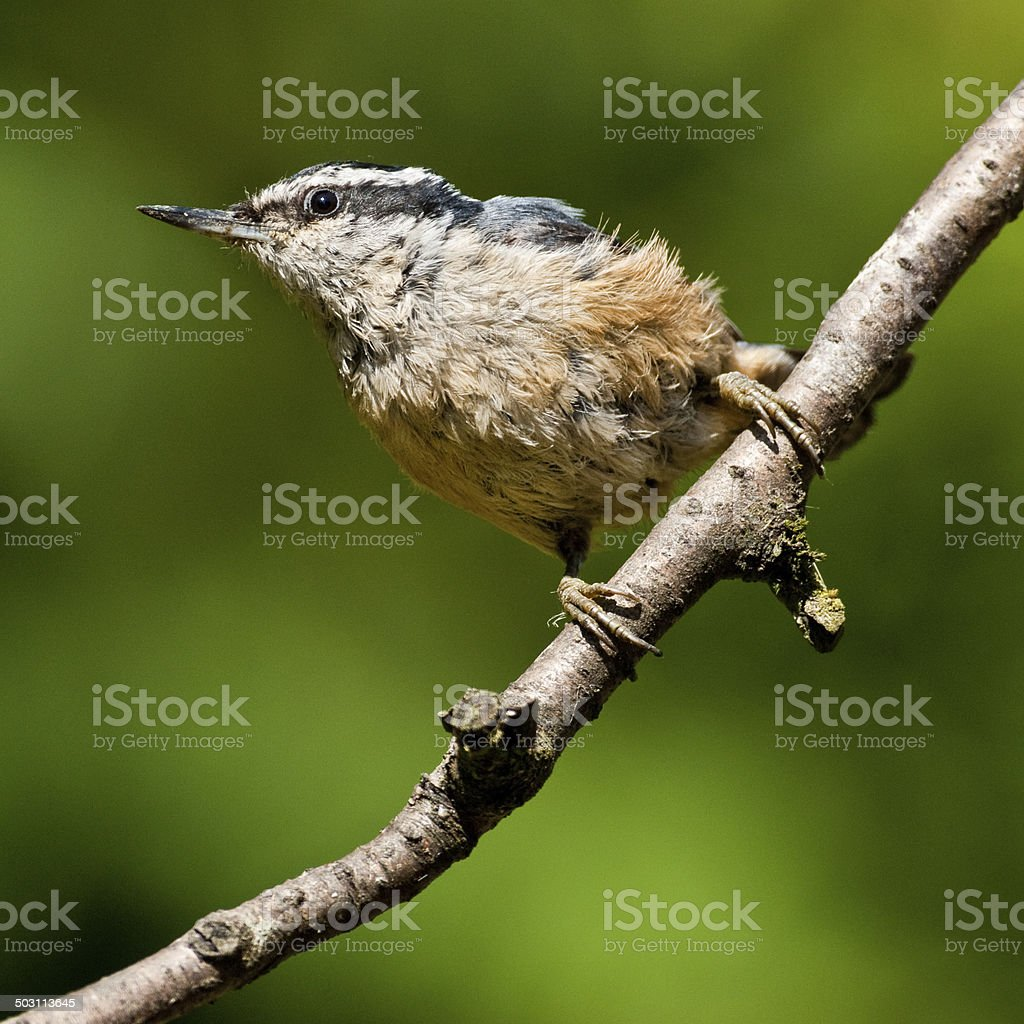 Red Breasted Nuthatch royalty-free stock photo