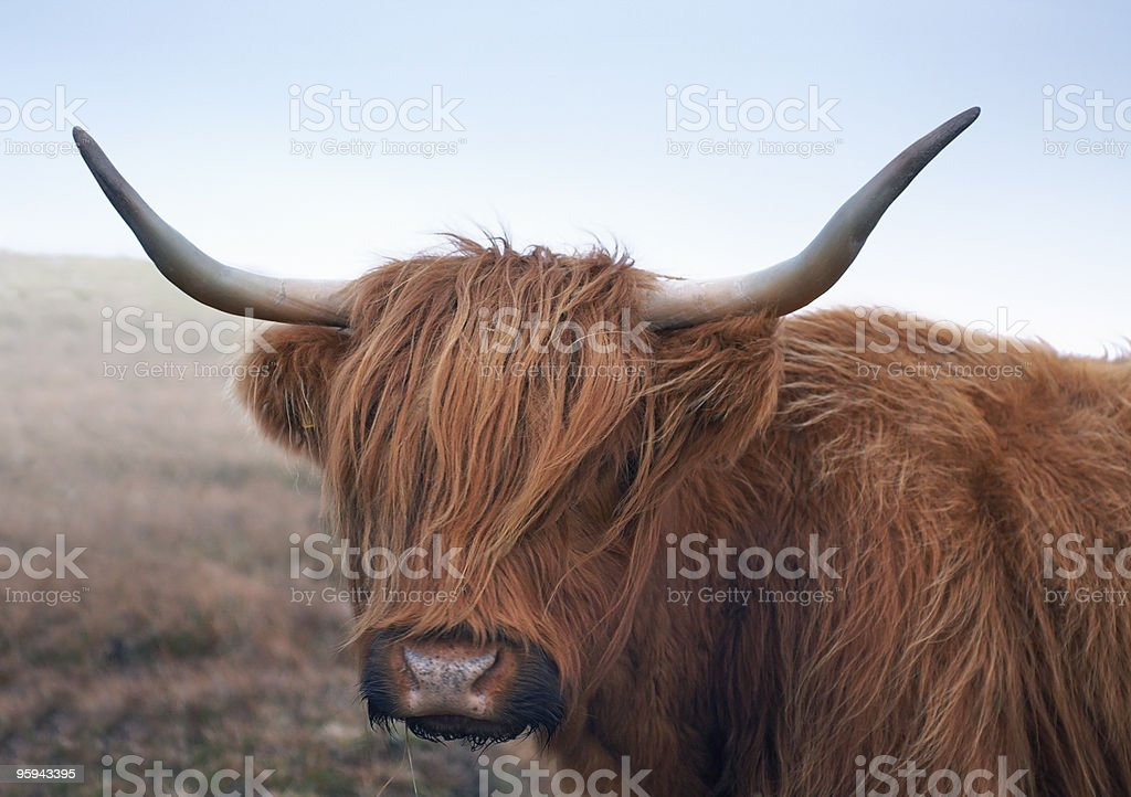 red brown Highland cattle royalty-free stock photo
