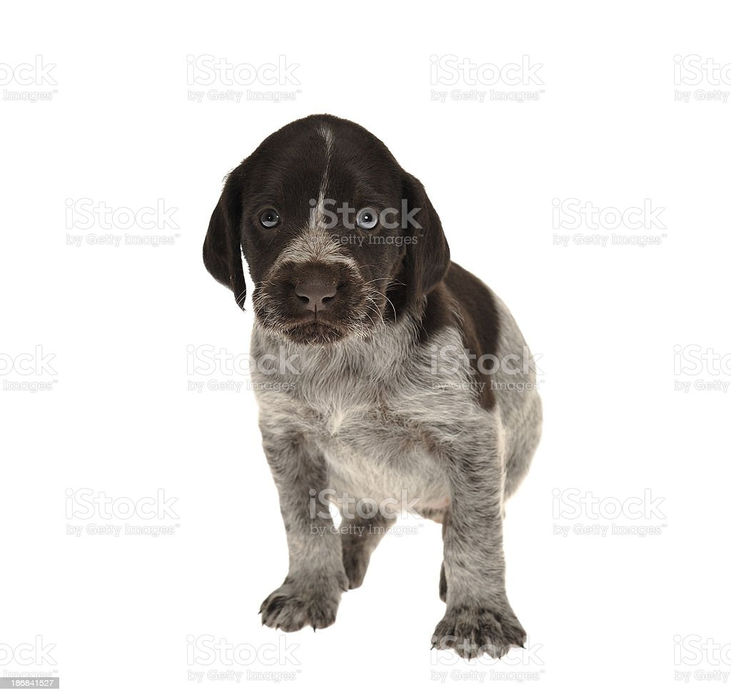 Red brown pied puppy starring at the viewer stock photo