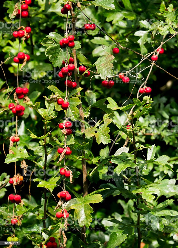 Red Bryony berries in a hedge stock photo