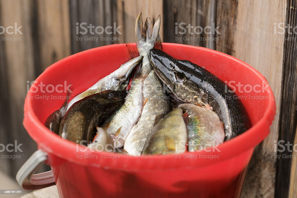 Red bucket with fish stock photo