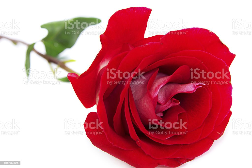 Red bud of rose with green stalk royalty-free stock photo