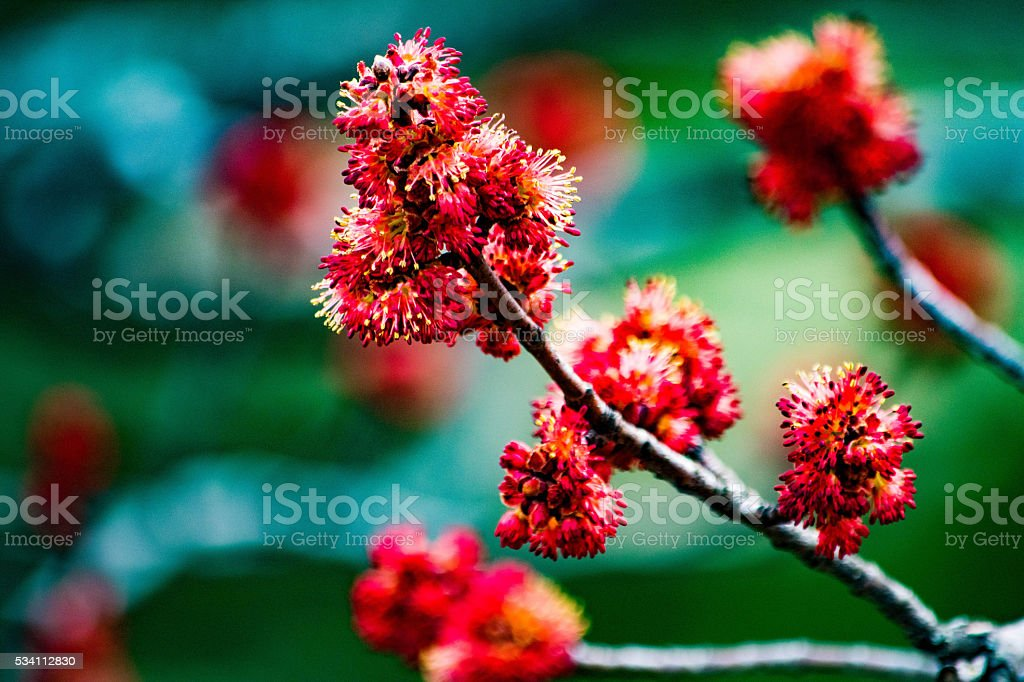 red buds royalty-free stock photo
