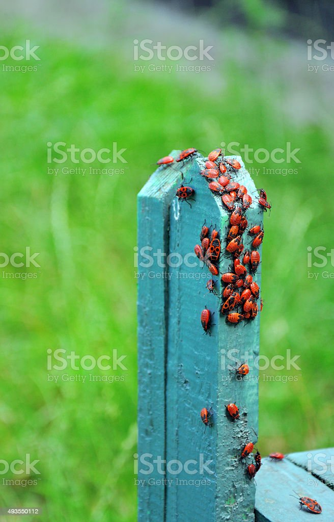 red bugs sitting on the fence stock photo