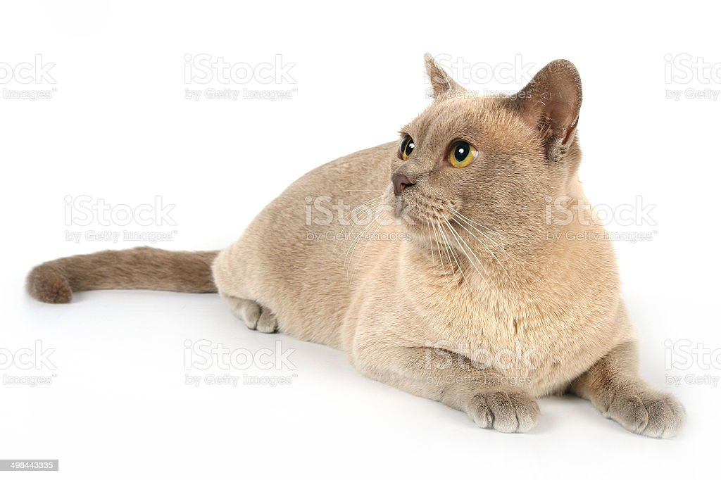 Red burmese cat, whole body, white background, looking left royalty-free stock photo