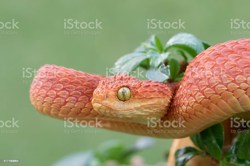 Red Bush Viper Coiled to Strike stock photo