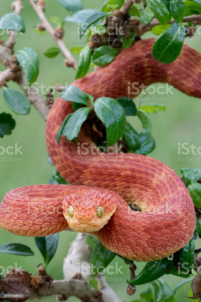 Red Bush Viper Descending from Tree stock photo