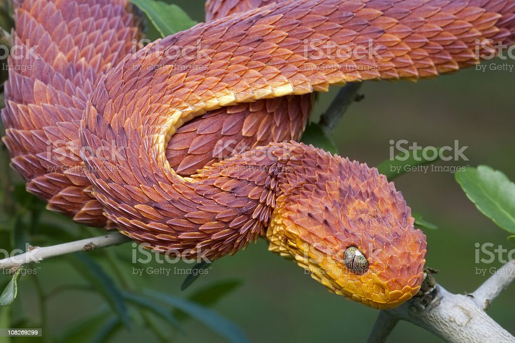 Red Bush Viper in Rainforest royalty-free stock photo