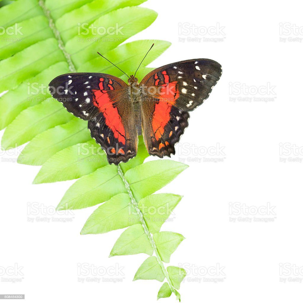 Red Butterfly Laying On Fern, White Background stock photo