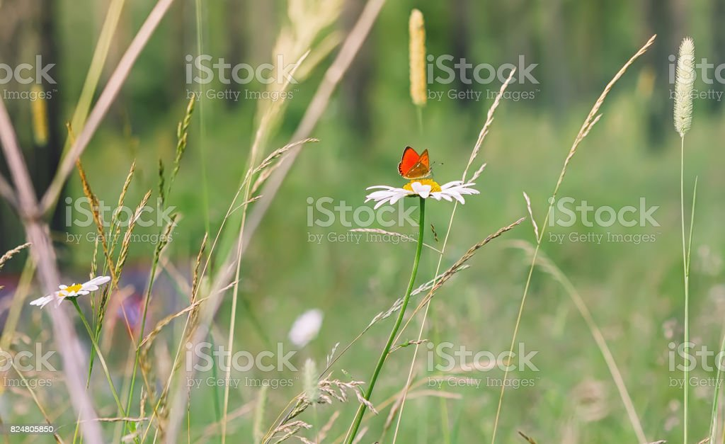 Red Butterfly On a Daisy stock photo
