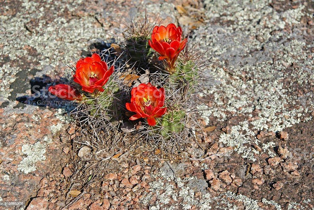 Red cactus blooming at Enchanted Rock Texas stock photo