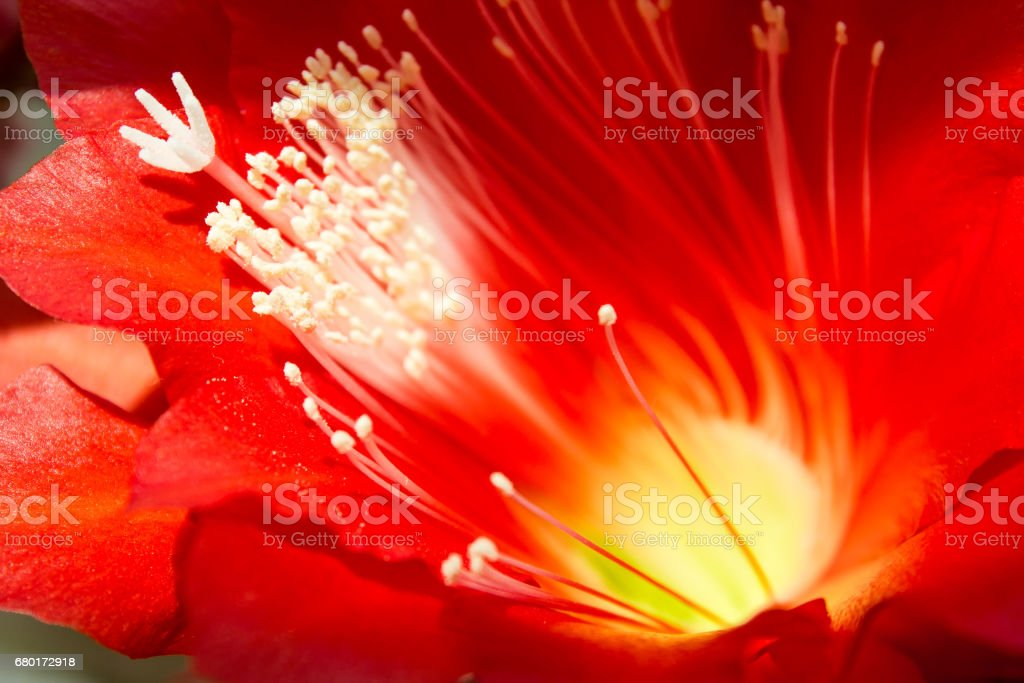Red cactus flower, background with houseplant stock photo
